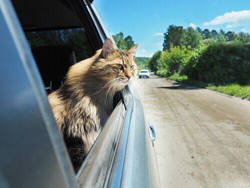 Kedinizi Arabada Seyahat Etmeye Nasıl Alıştırırsınız