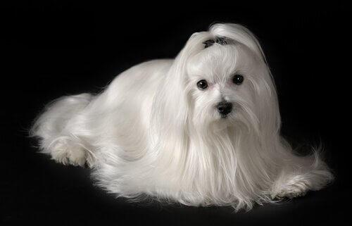 uzun tüylü beyaz köpek