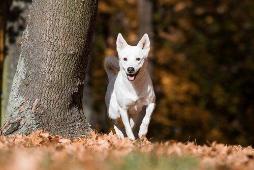 Canaan Köpeği: Birkaç Nesildir Vahşi