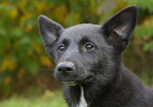 canaan dog yavrusu