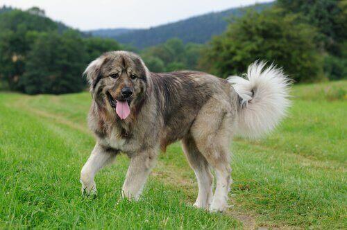 Sıra Dışı Kafkas Çoban Köpeği Hakkında Bilmedikleriniz