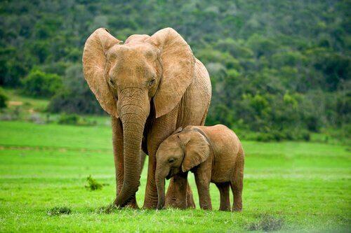 fil ve yavrusu