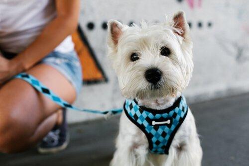 mavi tasmalı köpek