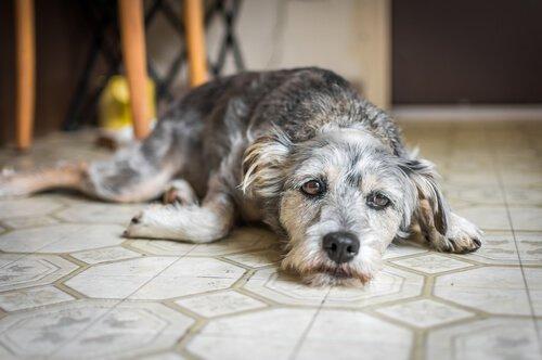 gri beyaz uzanan köpek