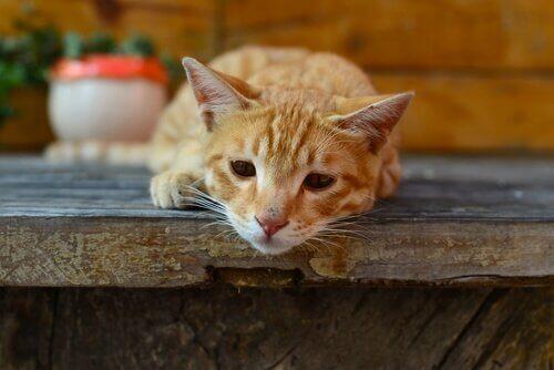 Kedilerde Giardia: Belirtileri ve Yayılması