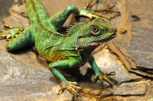 iguana yeşil feng şui