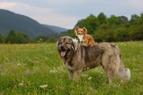 ormanda uzaklara bakan iki köpek ve Kafkas çoban köpeği