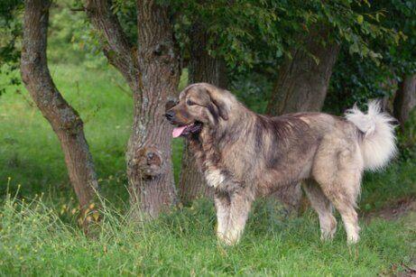 iri Kafkas çoban köpeği uzaklara bakıyor