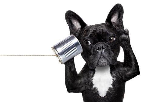 Köpeklerde İşitme Kaybı Belirtileri