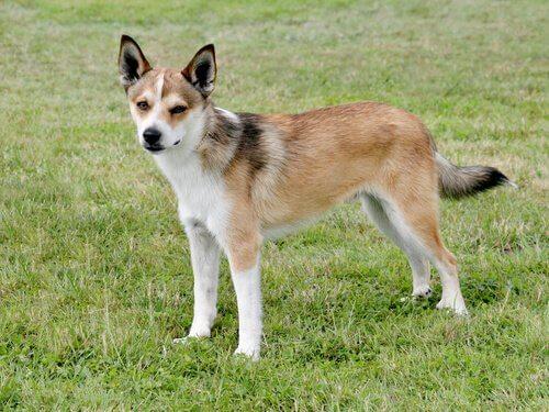 Nesli Tükenmekte Olan 5 Köpek Irkı