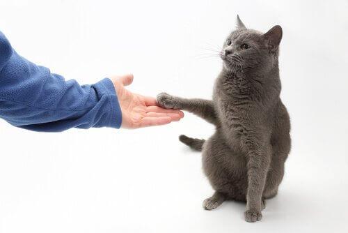 Bir Kediye Pati Vermesini Öğretebilir Misiniz?