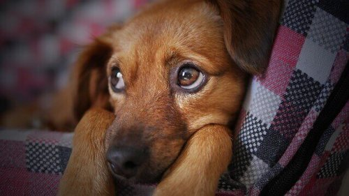 Köpek Gribini Önleme ve Tedavi Etme