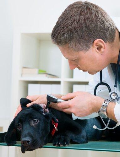 Köpeğin kulağını kontrol eden veteriner