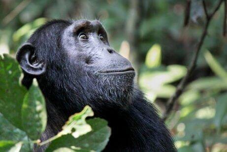 siyah maymun uzaklara bakıyor
