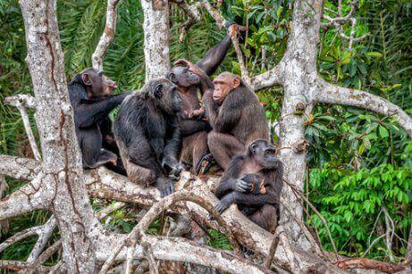 ağaçta oturan maymunlar ve şempanze kültürü