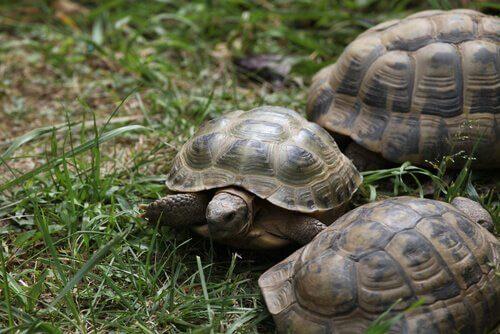 Rus kaplumbağası