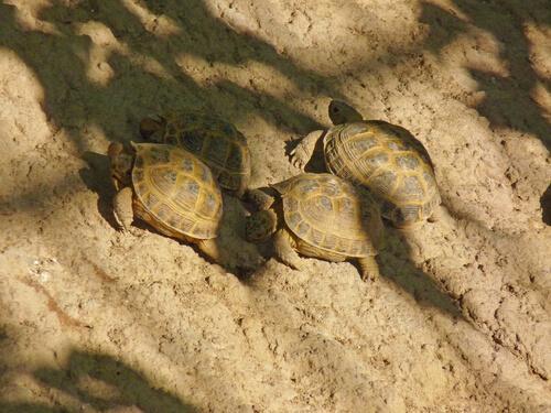 Birden Fazla Rus Kaplumbağası Sahiplenmek
