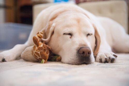 Evcil Hayvanınızın Uyku Sorunu Varsa Ne Yapmalı?