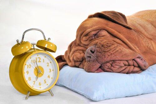 başında çalar saat ile uyuyan köpek