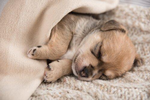 uyku sorunu yaşayan yavru köpek
