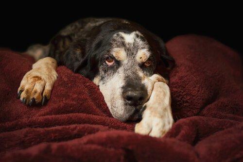 sahibine bakan yaşlı yaşlı köpek