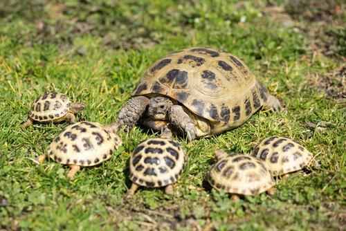 yavru Rus kaplumbağası