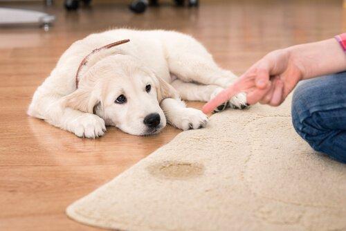 halıya çiş yapan köpek