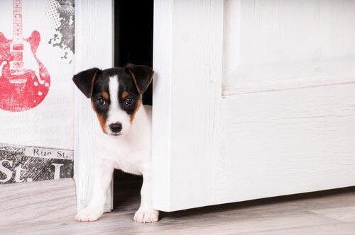 Yavru Köpeğinizi Eve Alıştırmak