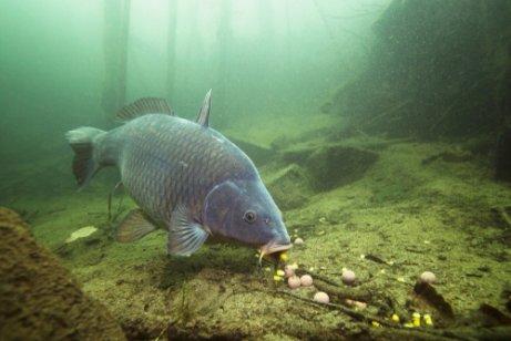 aç balık yemek yiyor ve havuz balıkçılığı