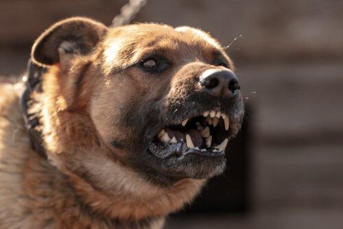 Köpeklerde Saldırganlık Sebepleri