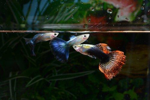 akvaryumda renkli balıklar