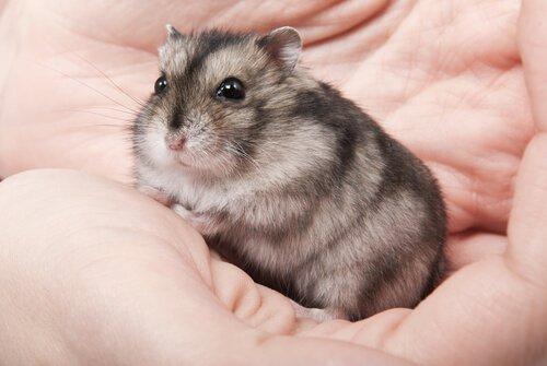 avuç içinde hamster