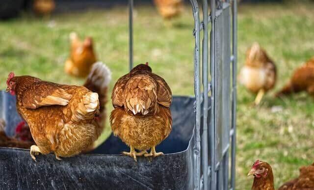 bahçede tavuklar