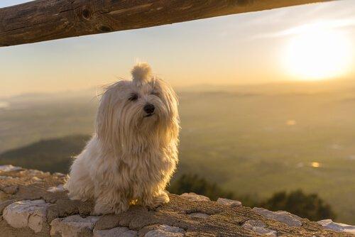 maltase köpeği