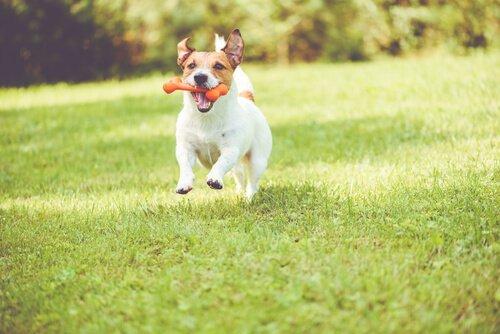 çiğneme oyuncağı ile parkta koşan köpek