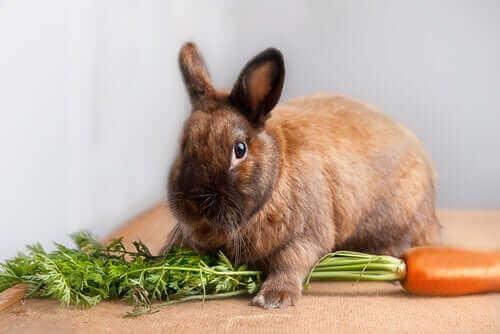 Tavşan Bakımı: Cüce Tavşan Neyle Beslenmelidir