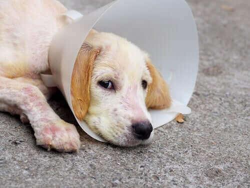 Köpeklerde Demodikozis Nasıl Tedavi Edilir