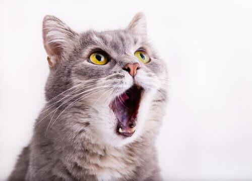 Kedilerde Mırlama Sebepleri