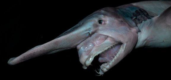 Goblin Köpek Balığı: Ortamı ve Gerçekler