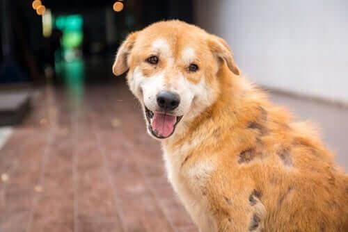 demodikozis sonrası iyileşen köpek