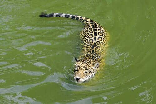 en iyi yüzücüler jaguarlar