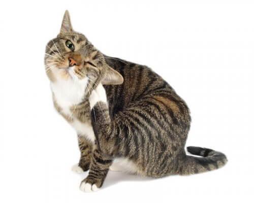 Kedi Piresi: Kedinizi Parazitlere Karşı Korumak