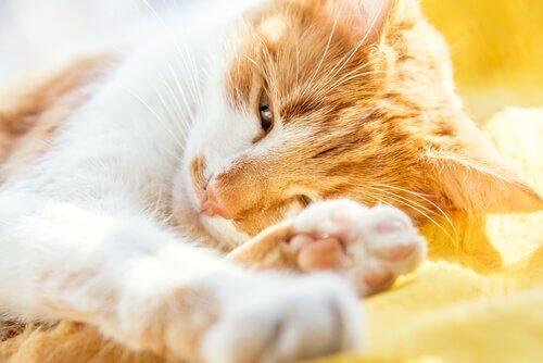 Kedilerde Yaşlılık Bunaması: Belirtileri ve Tedavisi
