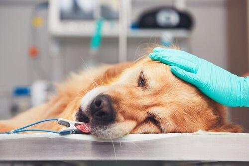 kemoterapi alan köpek