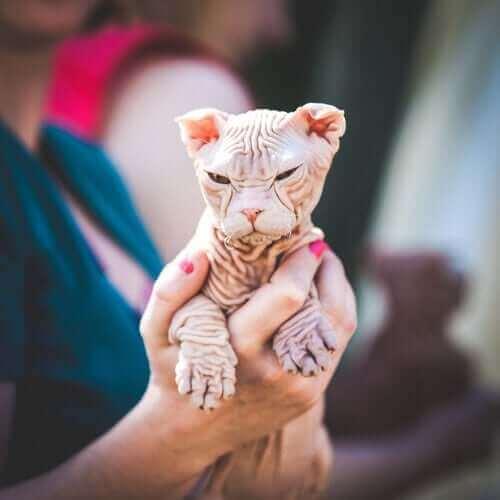 kohana tüysüz kedisi