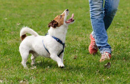 sahibine bakan heyecanlı köpek