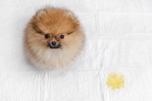 Köpeğinizin Yatağa Çişini Yapmasını Engelleyin