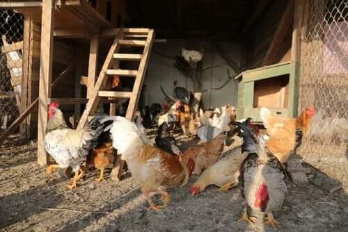 kümeste tavuklar