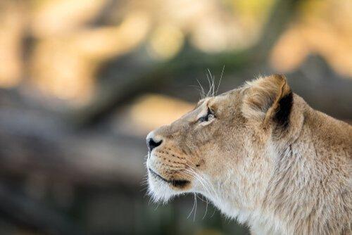 kurtarılan dişi aslan nala