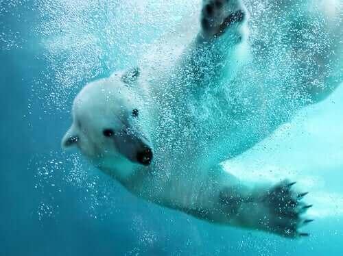 en iyi yüzücü kutup ayısı